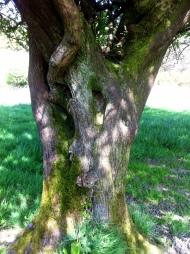 Magical Hawthorn