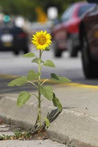 sunflower_Univ_Ave05_10026