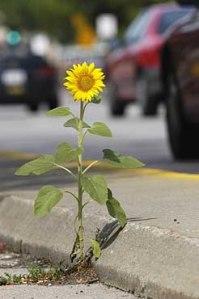 sunflower_Univ_Ave05_10026