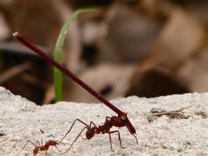 ant-carrying-stick