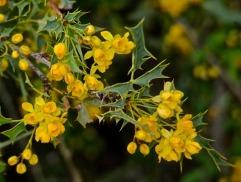 Desert barberry - The outer bark of the root shows the gold-colored presence of berberine