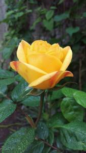 Summer's first rose in my garden. Oh how i was elated to see her arrival
