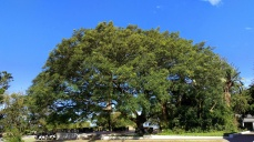Rain tree at Olivewood Golf Course