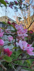 Blossoms in my garden